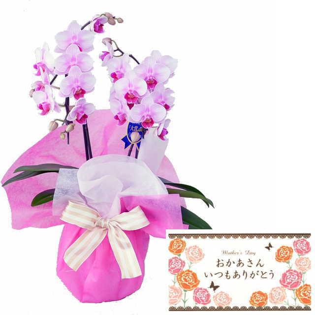 母の月 母の日 メッセージカード付き ミディ胡蝶蘭 2本立ち ピンク色