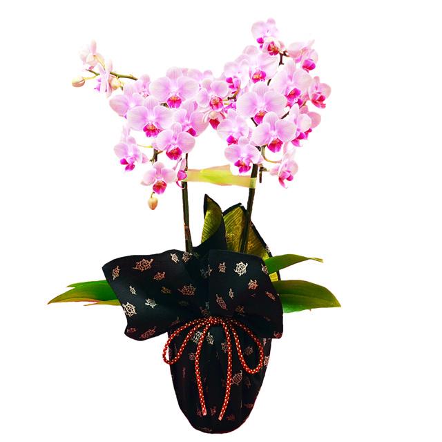 特選 ミディ胡蝶蘭 2本立ち ピンク 風呂敷包み 福むすび 亀 リバーシブル