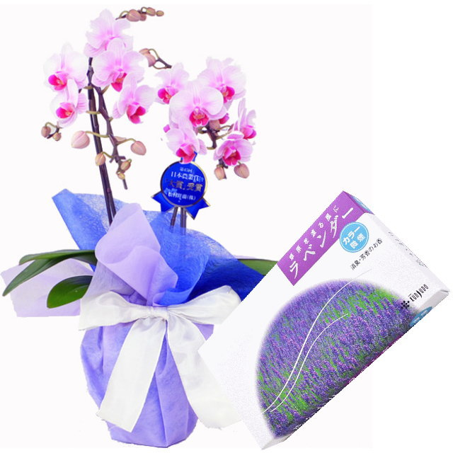 ミディ胡蝶蘭 ピンク色 2本立ち 薫寿堂のお線香 花かおりラベンダー 微煙タイプ #622 セット