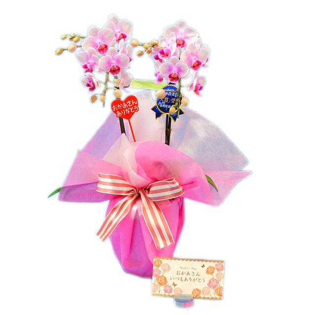 母の日ピック付き ミディ胡蝶蘭 2本立 ピンク色