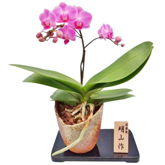 胡蝶蘭 1本立ち ピンク系 信楽焼鉢