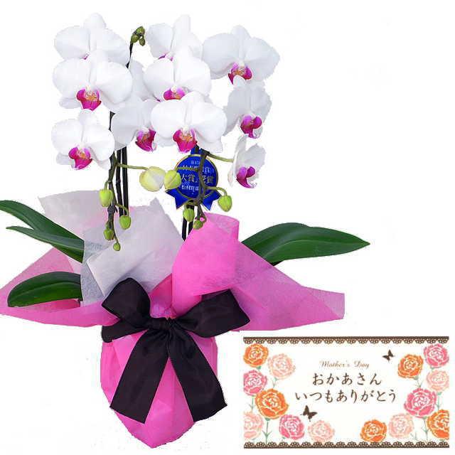 母の月 母の日 メッセージカード付き ミディ胡蝶蘭 2本立ち ユミ 赤リップ色