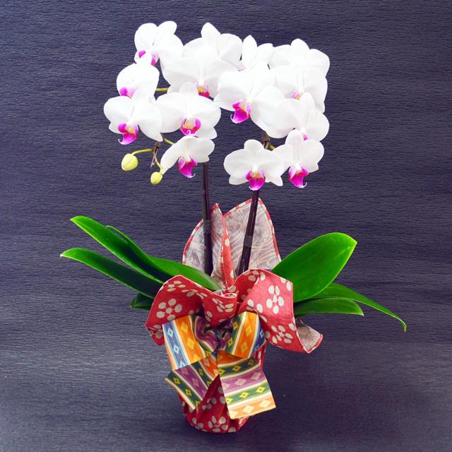 特選ミディ胡蝶蘭 2本立ち 赤リップ ユミ 高級風呂敷包み 利休が好んだ梅とたてわく桜の両面風呂敷 リバーシブル