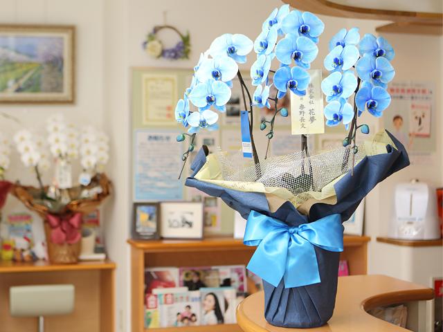 青い胡蝶蘭3本立ブルーエレガンス