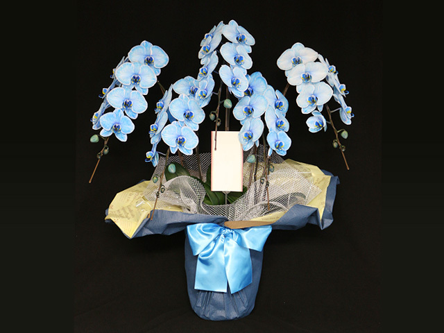 45輪の青い胡蝶蘭(ブルーエレガンス)[5本立ち]【送料無料】|誕生日などのお祝いの贈り物におすすめのフラワーギフト
