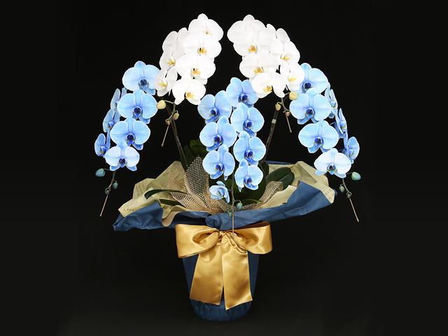 【当店限定胡蝶蘭】極上エレガンス(ブルーエレガンス&白い胡蝶蘭)-富士山-[5本立ち]【送料無料】|開店祝い・開業祝い・開院祝い・当選祝い・選挙・誕生日などのお祝いの贈り物におすすめのフラワーギフト