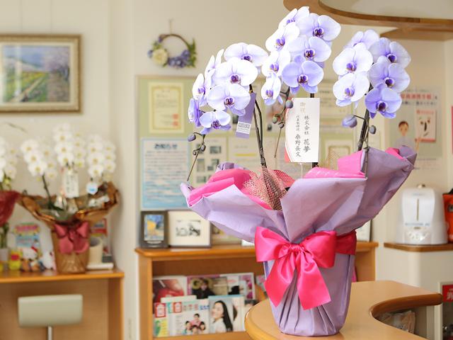 紫の胡蝶蘭3本立