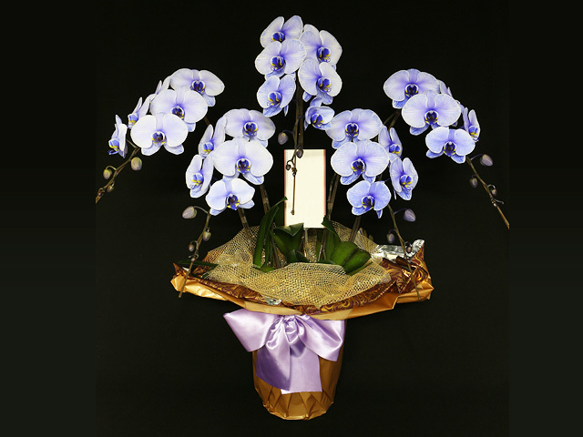 45輪の紫の胡蝶蘭(パープルエレガンス)[5本立ち]【送料無料】|誕生日などのお祝いの贈り物におすすめのフラワーギフト