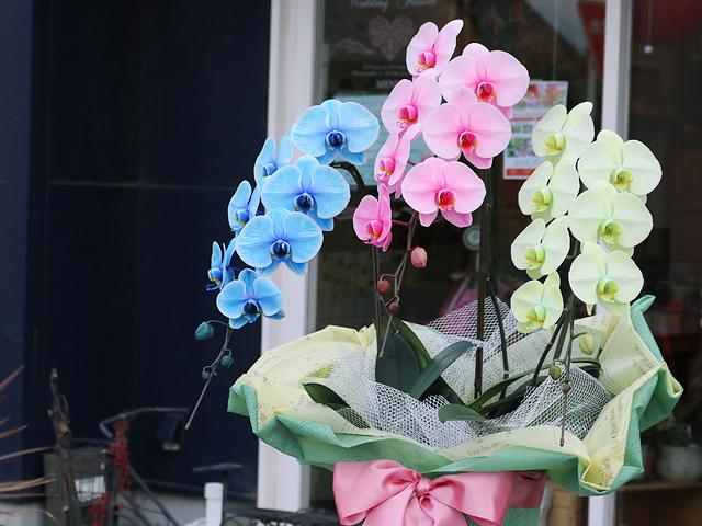 3色の胡蝶蘭(サプライズエレガンス)[3本立ち]【送料無料】|5色から組み合わせが選べる胡蝶蘭<当店限定>誕生日などのお祝いの贈り物におすすめのフラワーギフト
