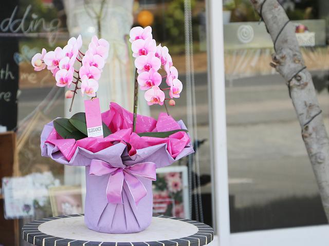 ピンクのミディ胡蝶蘭(ピンクエレガンス)[2本立ち]【送料無料】|誕生日・記念日・お祝いなどの贈り物におすすめの珍しいフラワーギフト
