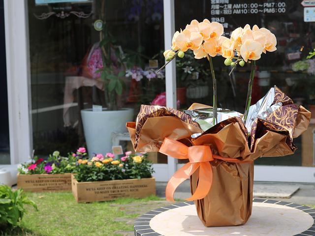 オレンジのミディ胡蝶蘭(オレンジエレガンス)[2本立ち]松浦園芸【送料無料】|誕生日・記念日・お祝いなどの贈り物におすすめの珍しいフラワーギフト