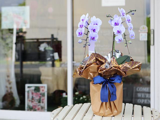 紫のミディ胡蝶蘭(パープルエレガンス)[2本立ち]松浦園芸【送料無料】|誕生日・記念日・お祝いなどの贈り物におすすめの珍しいフラワーギフト
