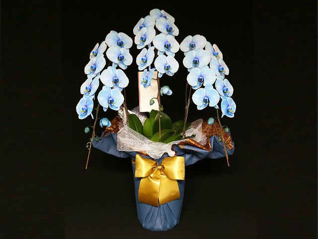 33輪青い胡蝶蘭3本立