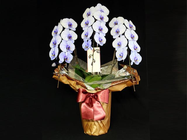 紫の胡蝶蘭3本立33輪