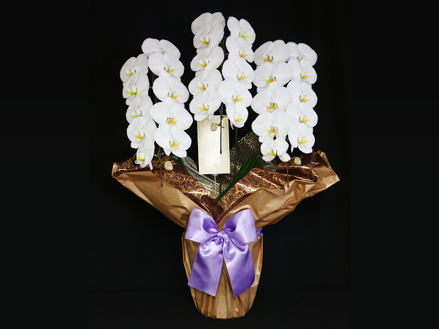 白い胡蝶蘭[3本立]~LED栽培・産地直送~【送料無料】東京・大阪即日発送可能・法人ギフト対応|誕生日・開店祝い・就任祝いなどの贈り物におすすめのフラワーギフト