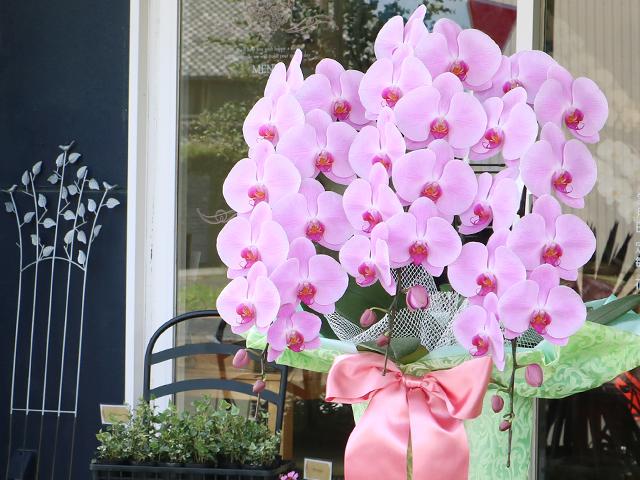 ピンクの胡蝶蘭[3本立]~LED栽培・産地直送~【送料無料】|誕生日などお祝いの贈り物におすすめのフラワーギフト