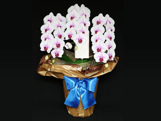 白赤の胡蝶蘭[3本立]~LED栽培・産地直送~【送料無料】|誕生日などお祝いの贈り物におすすめのフラワーギフト
