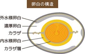 卵白の構造