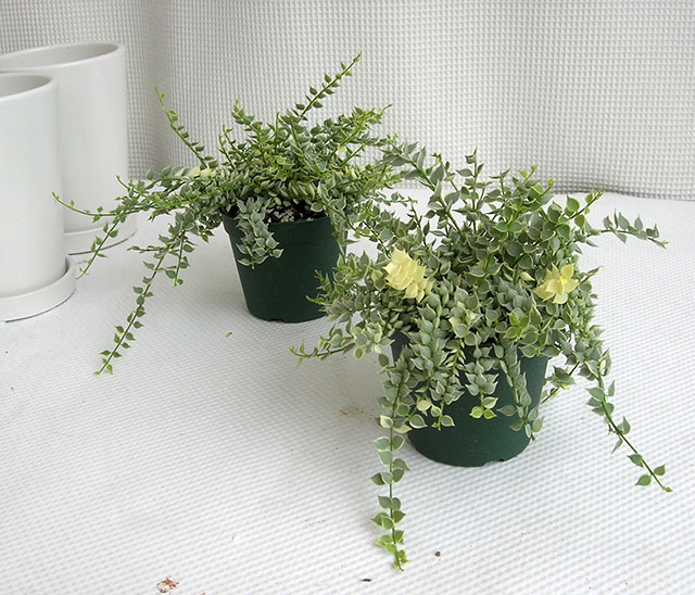 ディスキディア ミリオンハート白斑 観葉植物通販・販売