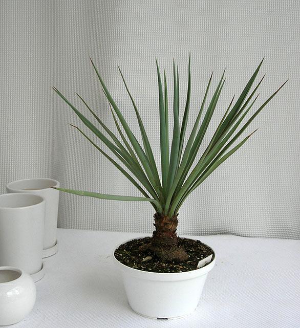 ユッカ・ショソティ観葉植物通販・販売