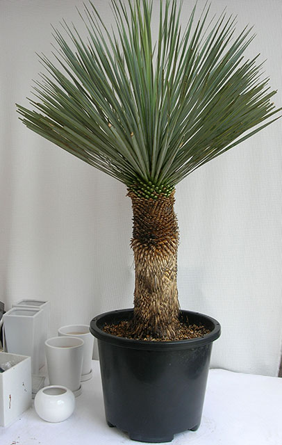 ユッカ・ロストラータH1300観葉植物通販・販売