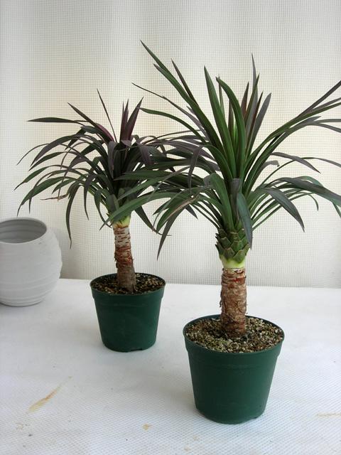 ユッカ・ディスメティアーナ観葉植物通販・販売