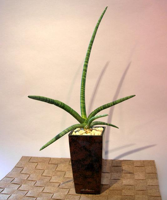 観葉植物Sansevieria stucki Godefr