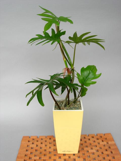 フィロデンドロ・タンゴMini-Cubi