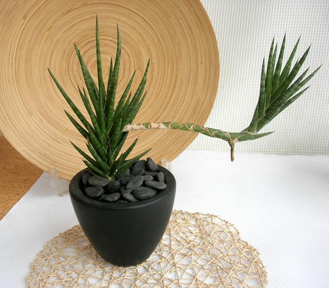 サンスベリア フランシシー・マッドブラックM観葉植物専門店