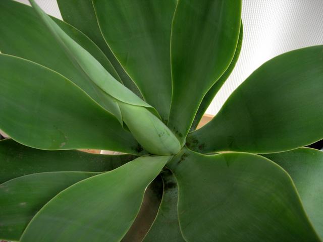 アガベアテナータ観葉植物通販・販売
