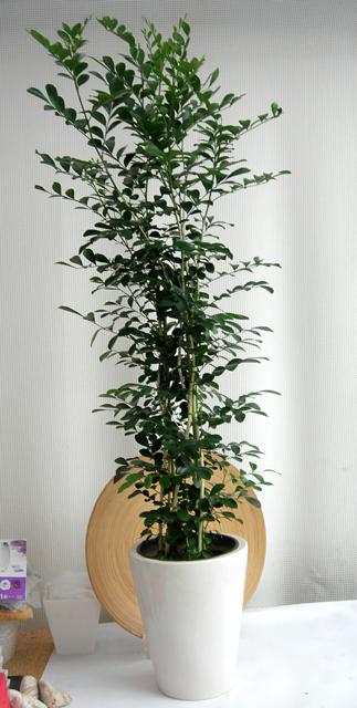 ルクジャスミン・プレーンポット鉢カバー観葉植物通販・販売