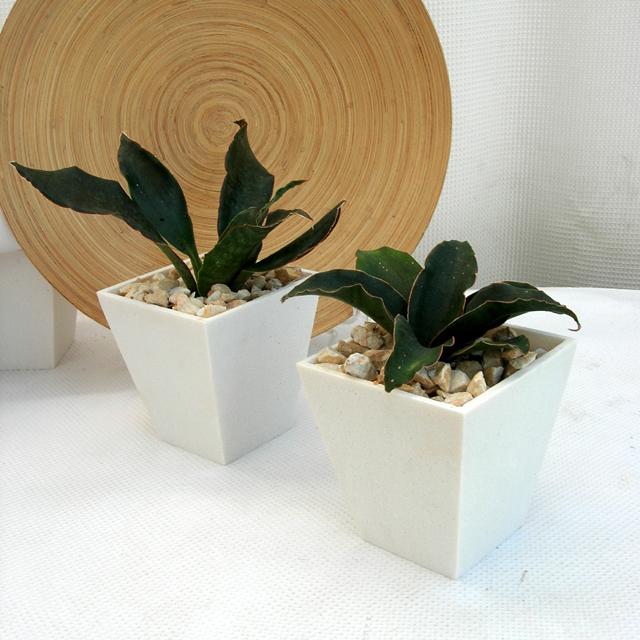サンスベリア・ロセアSP スクエアパウダーストーン観葉植物通販・販売