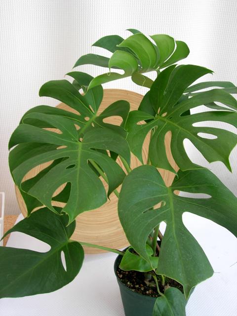 モンステラ デリシオサ コンパクター6寸観葉植物通販・販売