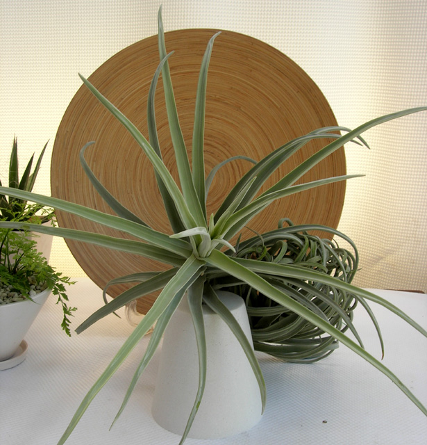 チランジア ドーラティ 特大エアプランツ観葉植物通販・販売