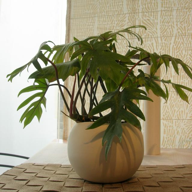 フィロデンドロ・タンゴ Ceramic