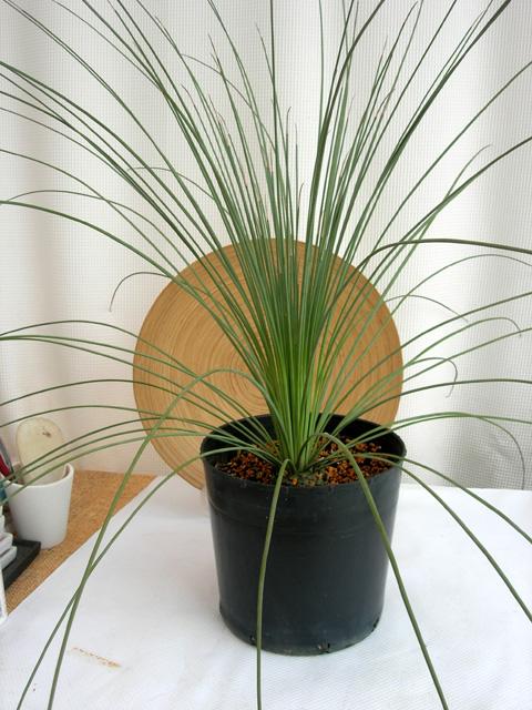 ダシリリオン・ロンギッシムム観葉植物販売・通販
