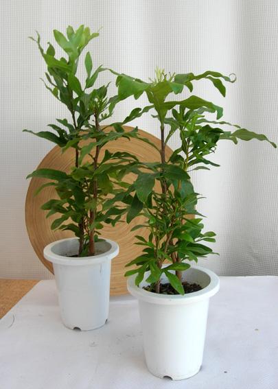 ステノカルプス観葉植物通販・販売