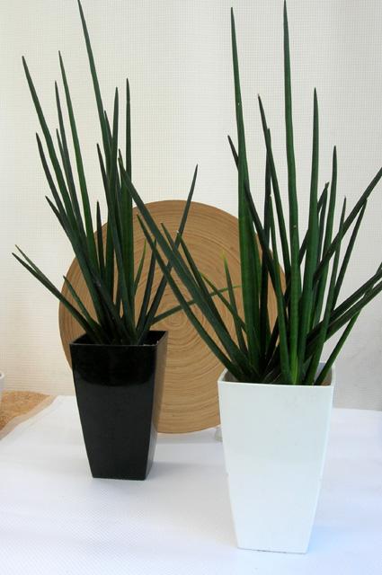 サンスベリア エリスラン観葉植物通販・販売