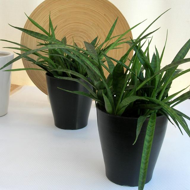 サンスベリア パルバ観葉植物通販・販売