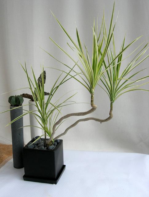 曲がりの綺麗なホワイトドラセナコンシネ観葉植物通販・販売