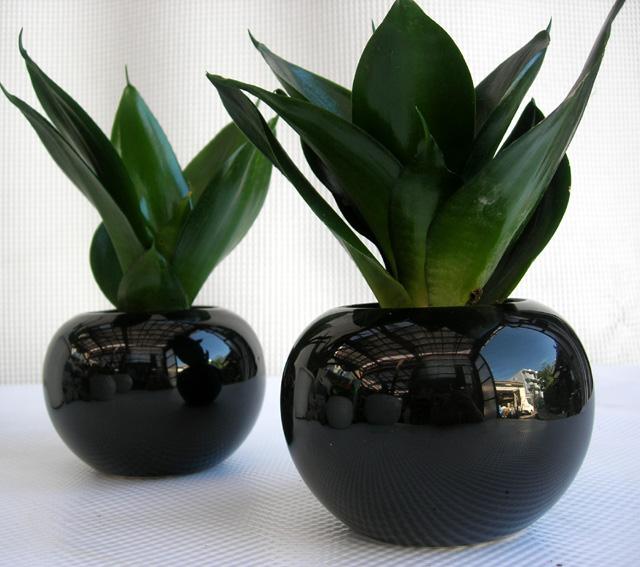 サンスベリア・ピュアグリーン ボールポット観葉植物通販・販売