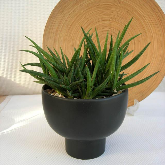 サンスベリア・バリー 群生 観葉植物通販・販売