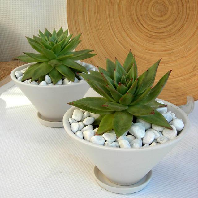 アガボイデス テーパーホット観葉植物通販・販売