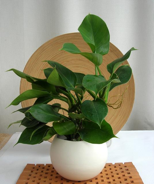 ィロデンドロ・グリーンプリンス Ceramic