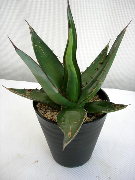 アガベSP・NO,1ナンバーワン観葉植物通販・販売