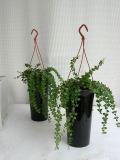 ディスキディア観葉植物通販・販売