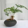 ダバリア トリコマノイデス観葉植物通販・販売