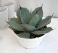 アガベバリー フレキシスピナ観葉植物通販・販売