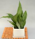 観葉植物サンスベリアシルバーハニー