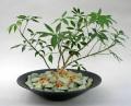 観葉植物シェフレラコンパクター